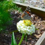 Butterfly perched on white zinnia flower in a garden