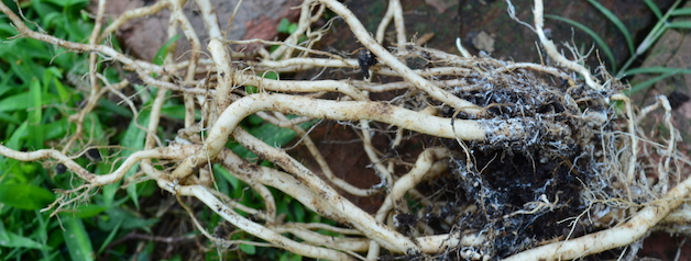 Smooth roots from dug-up tomato plant