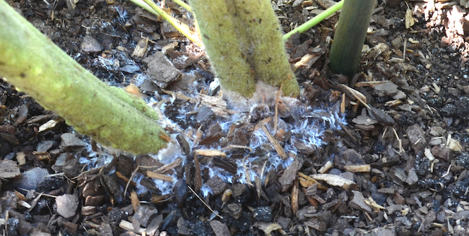 White stuff on ground and on two green stems growing through the white stuff