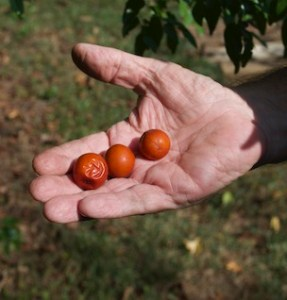 Three orange fruits of jujube, each a bit more than one inch in diameter, on an open palm.