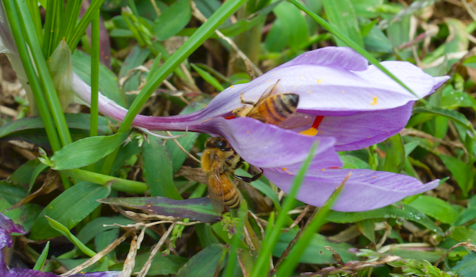 One purple saffron flower in the lawn with two honeybees -- one inside and one on the outside of a petal.