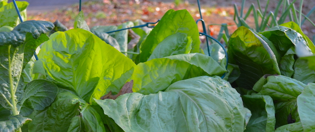 Tips of broad green leaves, growing upright and packed together in a bed of escarole and radicchio.