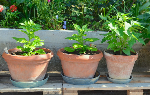 Three terra cotta pots, with a young pepper plant in each, lined up on a blue bench.