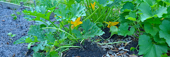 Zucchini plants showing the mound of compost heaped over stems that have been treated for borers.