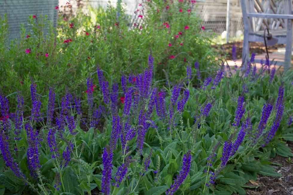 """(above) The purple blue flower is Salvia nemorosa 'May Night'. These two rows were planted last spring replacing the Blue mist flower which refused to thrive after two years, and I do believe there could have been no better choice. The bees and butterflies are unbelievably crazy busy here! The back two rows with the pink flowers are Salvia greggi 'Pink Preference'. Sadly, my beautiful roses that were once behind these plantings were pulled out last fall after signs of the dreaded Rose Rosette disease showed up in places. I am now trying to locate eight five-gallon pots of an old garden favorite called Rose of Sharon, a.k.a. althea, Hibiscus syriacus. I desperately need them to screen out my neighbor's """"collection."""""""