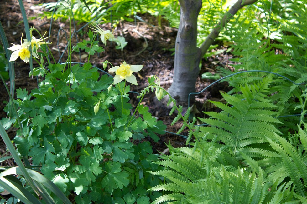 (above) Along with the Coral Bells and Oxalis, there are many other shade-loving perennials. One of which is our native 'Texas Gold' Columbine. Originally it had been planted in the west area of the shade garden. Evidently it wasn't happy there and decided to move east. Okay… whatever.