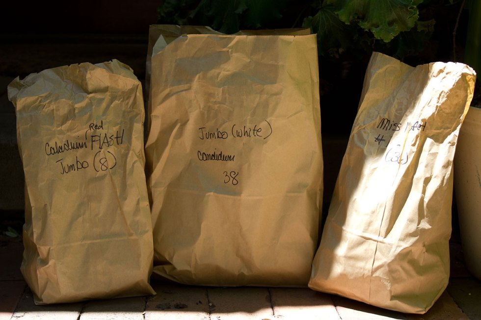 (above) Three kinds of Caladium bulbs. They're last but not least.