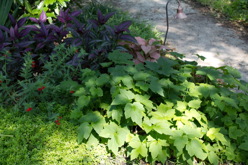 (above) You know all the plants in this photo except for the perennial in the lower right corner. This is my famous Japanese Anemone that blooms from mid-September through the end of October. This year it has decided to increase its real estate. Between it and the sedum, I don't know which has become the greedier.