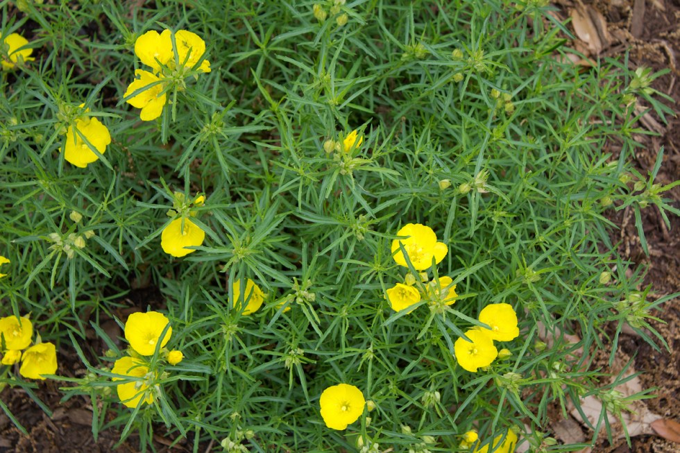 (above) Calylophus hartwegii 'Texas Gold'. Other common names for this plant are Hartweg's sundrops and Western Primrose. Most of these were planted late last spring, but some didn't make it. Because I couldn't find the Texas Gold variety, I instead planted a variety called Drummond's sundrops (Calylophus drummondianus). I do hope the difference isn't noticeable.