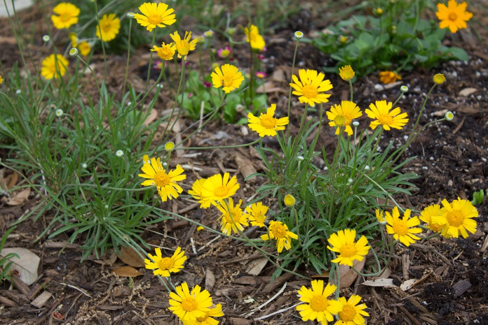 (above) Last summer in a small rectangular bed, I planted a massive group of Four-nerve daisies (Tetraneuris scaposa) at the base of my Texas Whitebud tree. By the end of the summer, I had lost a third of the clumps, but I just cut off their dead tops and allowed the root systems to remain. I was curious to see what would happen the next growing season. And lo and behold, there's new foliage popping up in many places along with the clumps that survived. But just in case they won't thrive, I have added a new plant, Dwarf Coreopsis (Coreopsis auricular 'Nana').