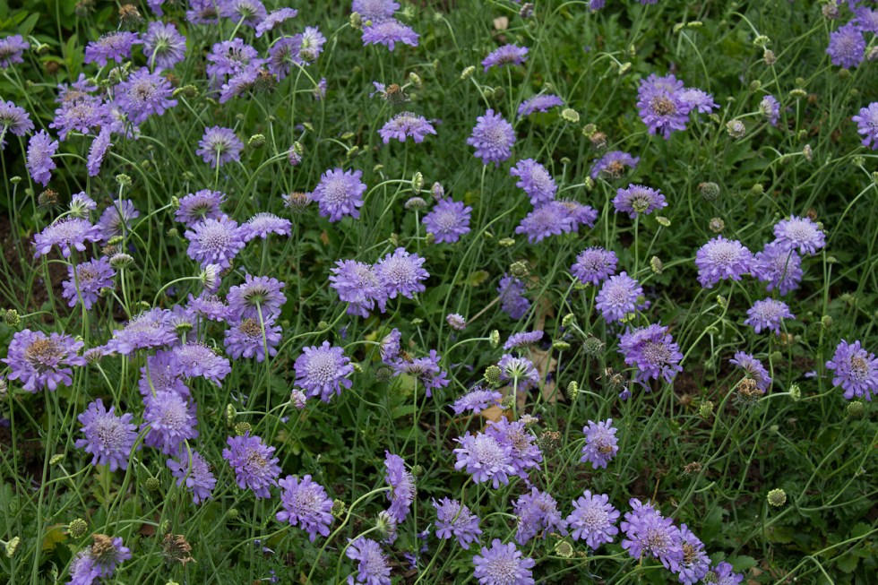 (above) Scabiosa 'Butterfly Blue'. Bees and butterflies love these Pincushion flowers. It's the busiest grouping in my front yard.