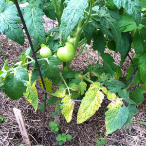 Septoria infected these Northwestern Wisconsin tomato plants