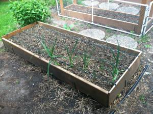Raised beds; onions; garlic; organic; gardening; garden