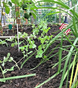 Square Foot Gardening; Garden; Minimalism; Urban Gardening; Podcast; Brand; Peppers; Facebook; trellis; tomatoes; cucumbers; melons; seedlings; pests and blight