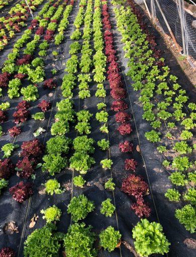 rowing salanova, gardening, urban farming, market gardening, Dallas Half Acre Farms, Michael Bell, Bellcast, homesteading. small business