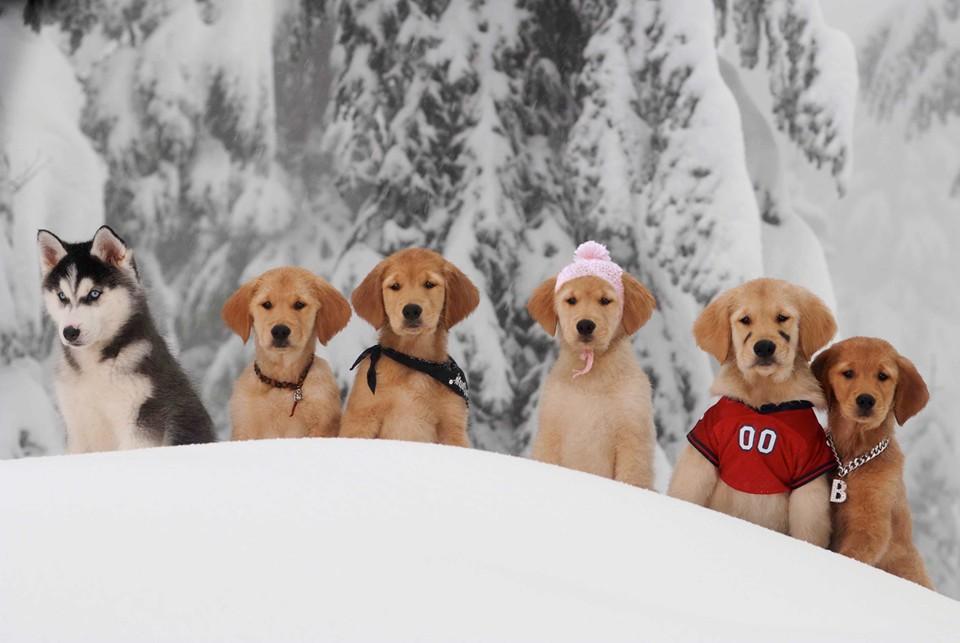 Golden Puppies Retriever Christmas Wallpaper