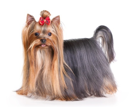 Small Dog Long Ears Wiry Hair