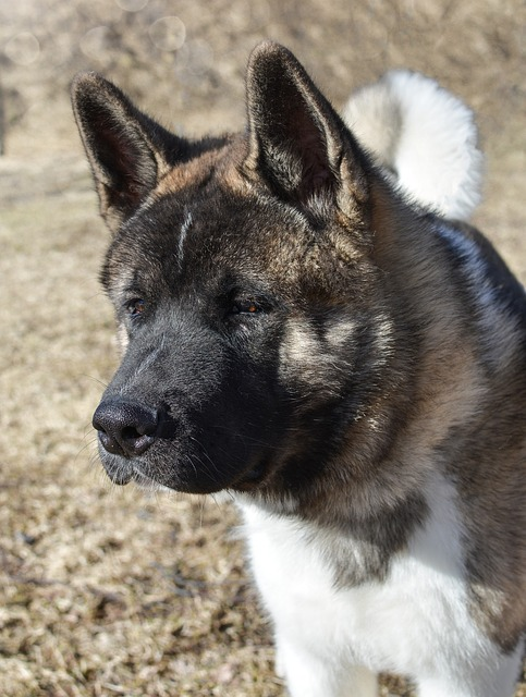 Big Dogs With Pointy Ears The Smart Dog Guide