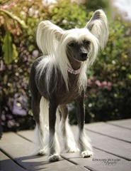 7.chinese crested hairless