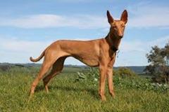 9.pharaoh hound