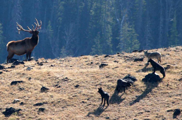 Wolf Observation, Yellowstone National Park, Idaho, Montana, And Wyoming