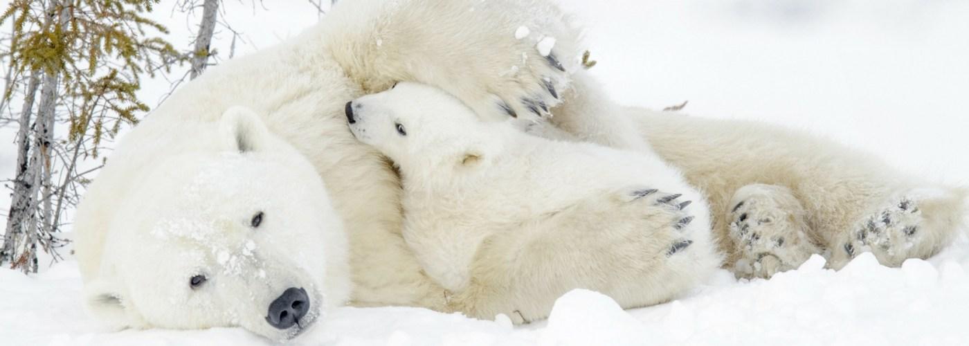 Polar bears in Manitoba Canada.