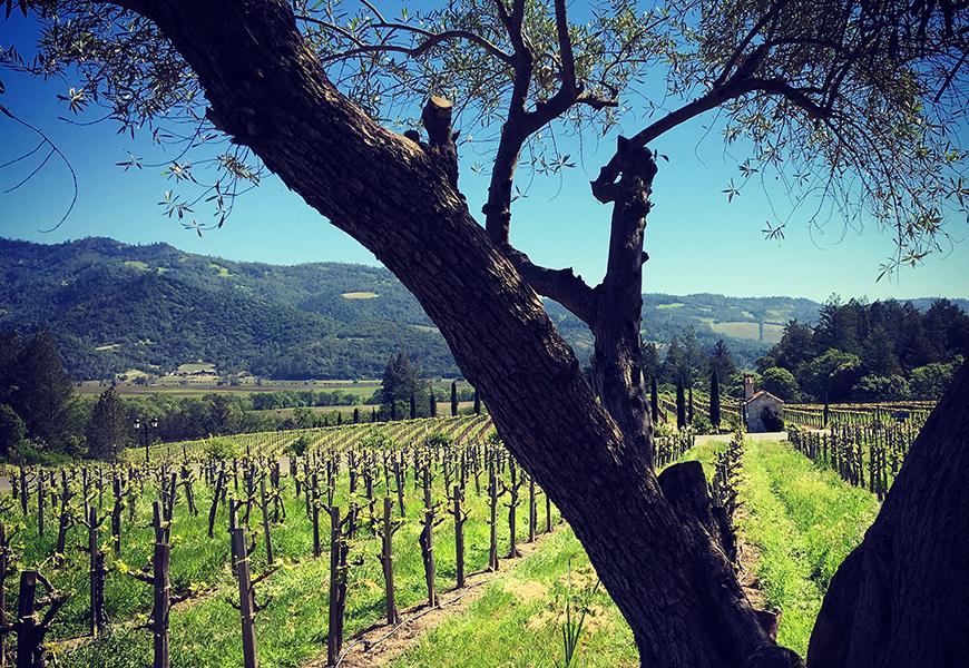 vineyard calistoga california