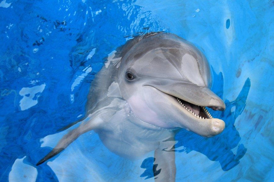 Dolphin at the clearwater marine aquarium in clearwater, florida