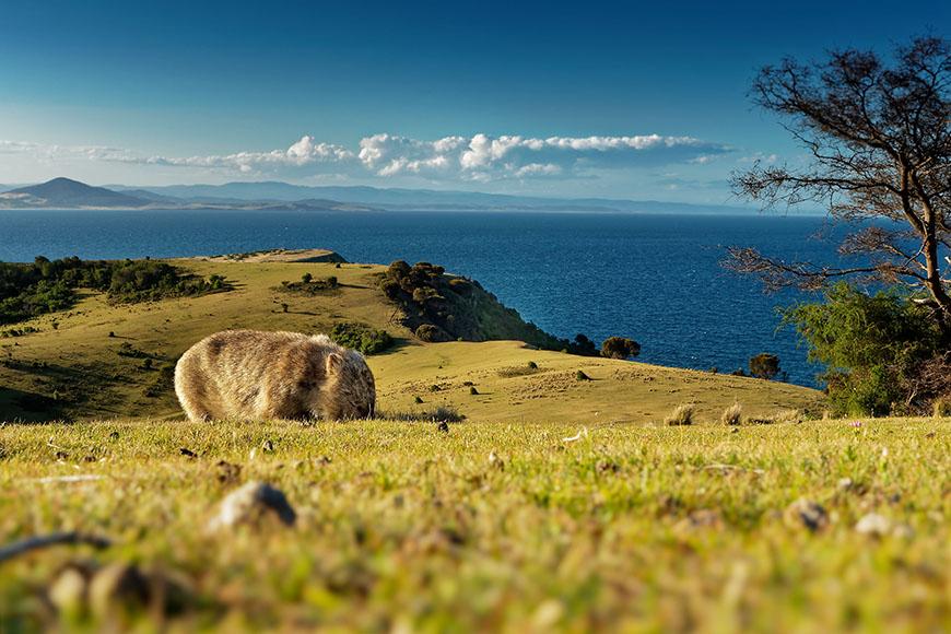 wombat on maria island tasmania.