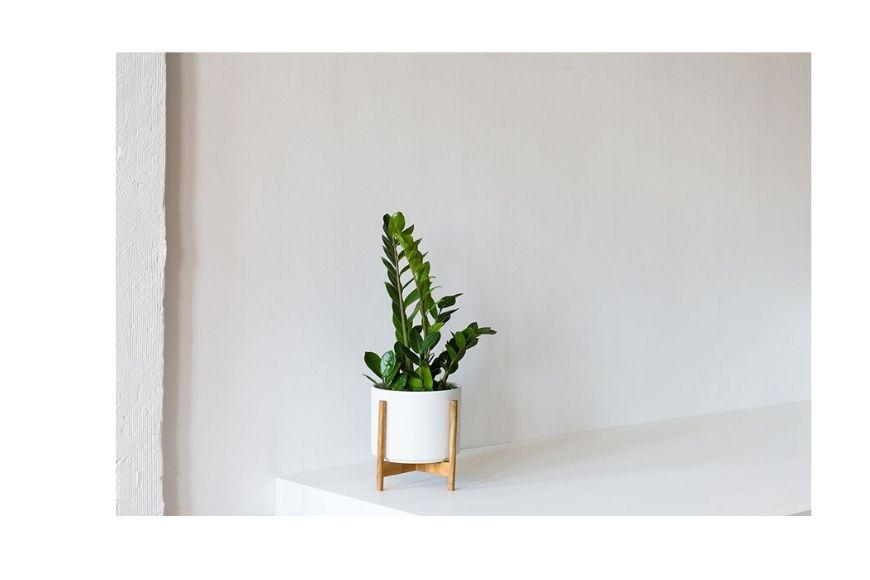 Zanzibar gem plant in pot.