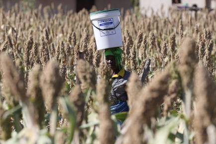 From seeds to markets, maize alternatives face challenges in Zimbabwe