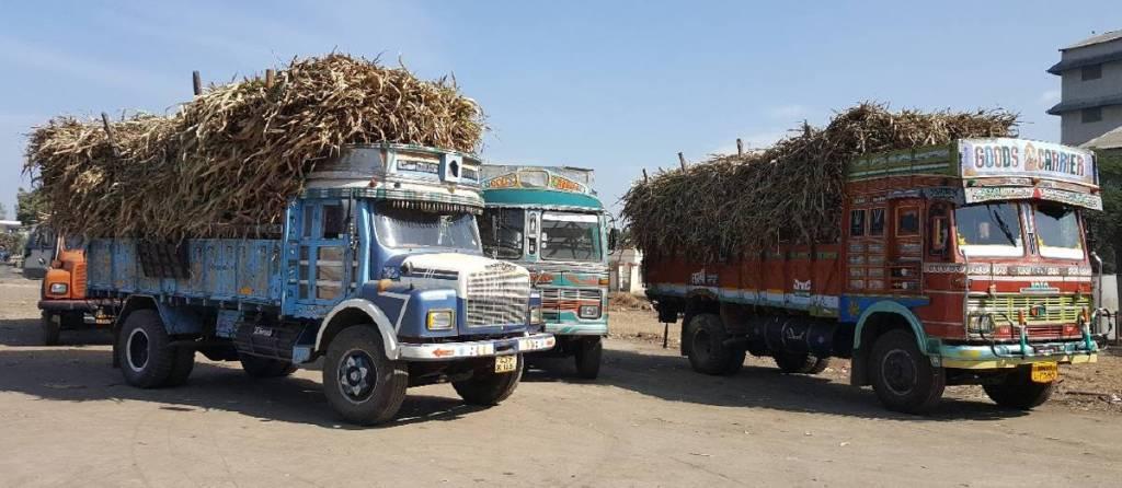 Sweet sorghum stalks being transported to sugar mills. Photo: Ashok Kumar