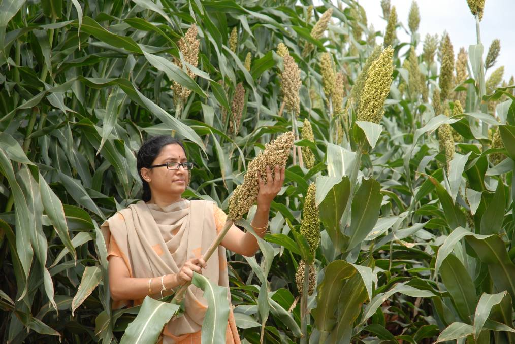 Sweet sorghum a double sugar-hit for Indian farmers