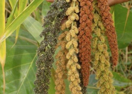 Millets, The 'Nutri-Cereals' That Could Give Fillip to Mission Nutrition