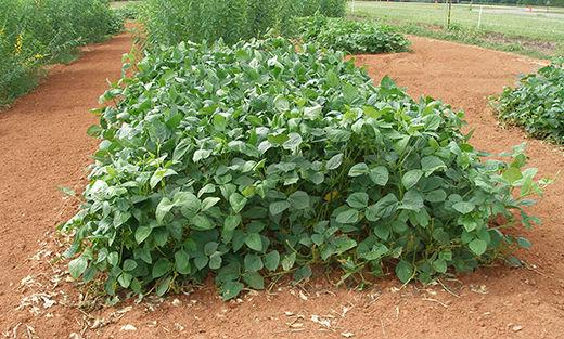 Cover crops that take the heat