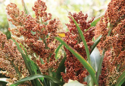 400,000 farmers to go into sorghum production this year