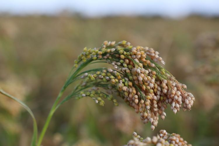 Proso MIllet's fan Club includes researchers, growers