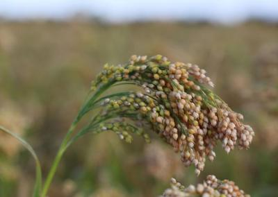 Proso MIllet's fan Club includes researchers, growers
