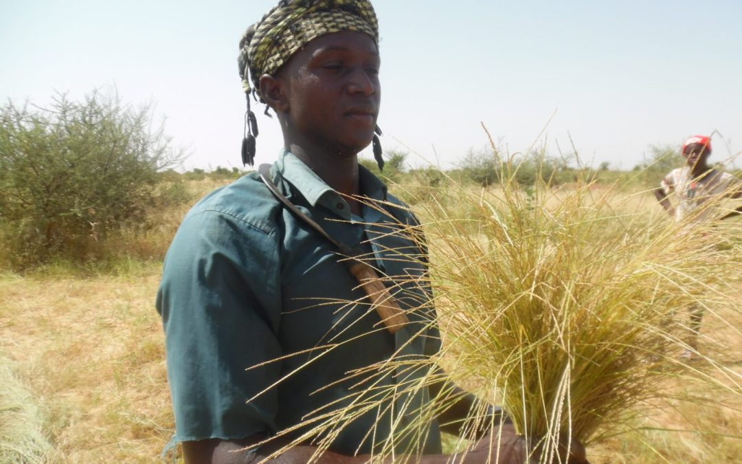 From West Africa, here comes the next miracle grain: fonio