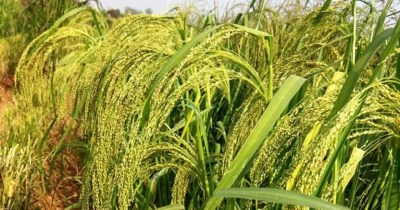 Mapping Millet Genetics to Enable Better Varieties for Farmers in Developing Countries