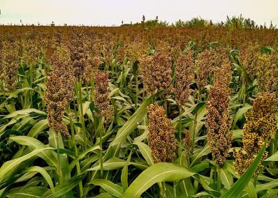 The World of Warm Season Annuals: Sorghum, Sudan, Millet, Oh My!