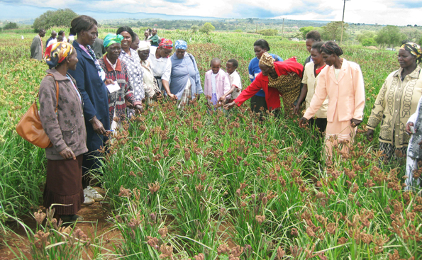 New Technology by KALRO to Boost Finger Millet Production