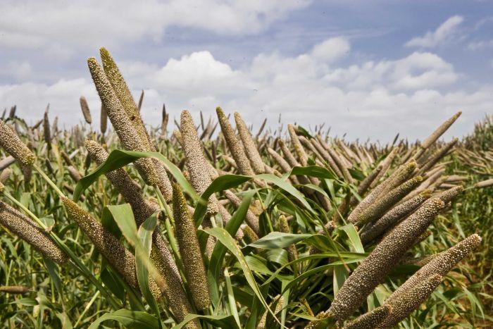 Popularising Nutri Millets