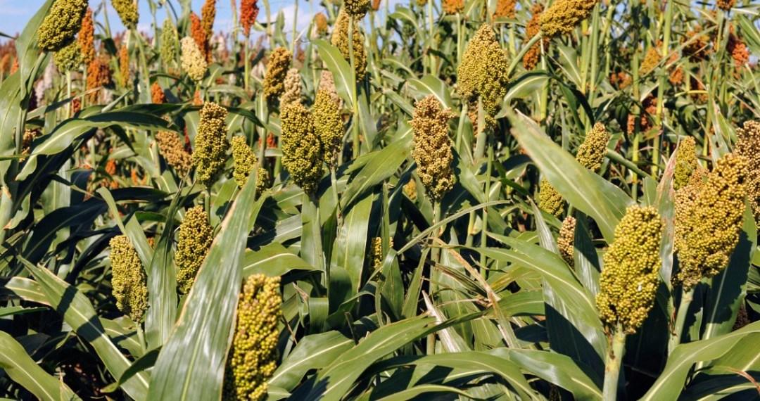 Nigerian sorghum farmers devise coping strategies for post-harvest losses