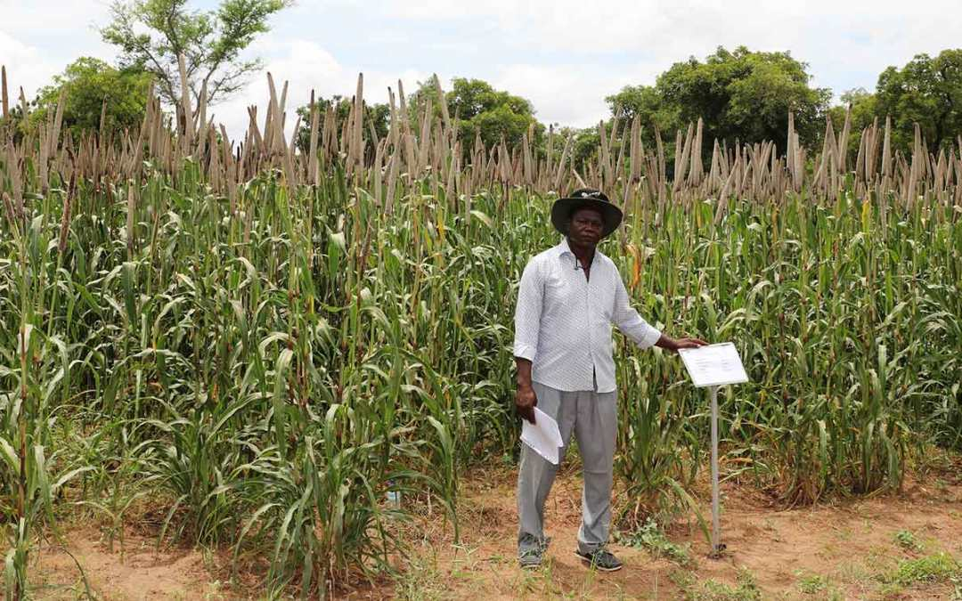 Burkina Faso releases its first pearl millet hybrid