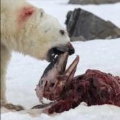 Oso Polar comeindo delfines en el Ártico 1