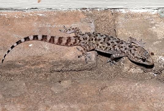 lizard control kolkata