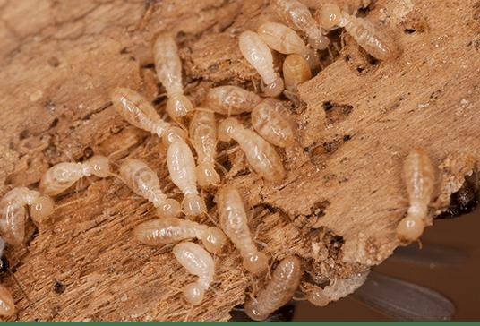 termite control kolkata