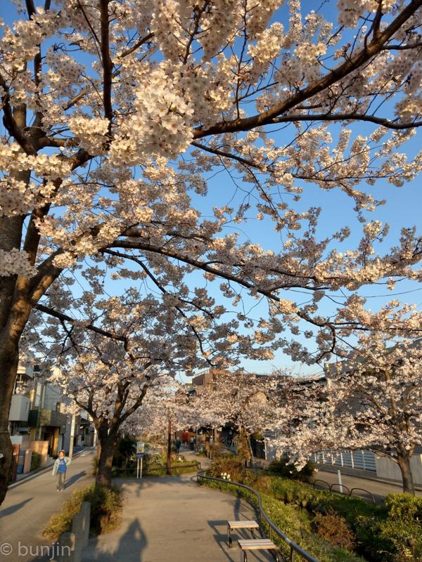 早朝満開桜