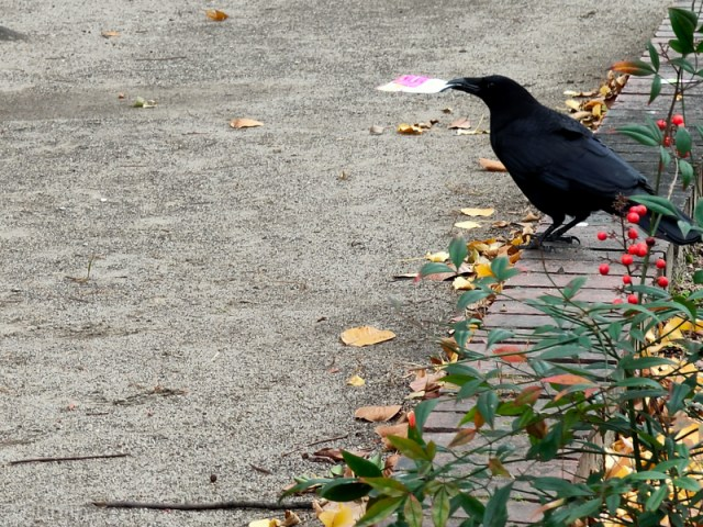 A letter delivered by a Crow